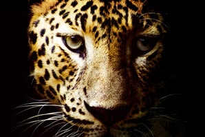 A leopard image showing a clear details