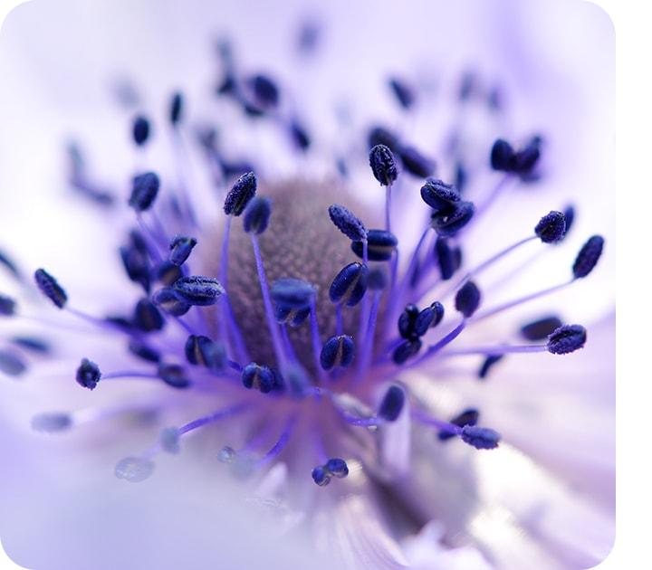 ภาพระยะใกล้ที่ถ่ายด้วย Macro Camera ที่แสดงให้เห็นถึงรายละเอียดของดอกไม้สีม่วง