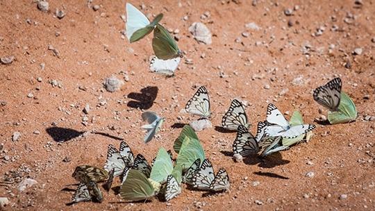 Kalahari Butterflies