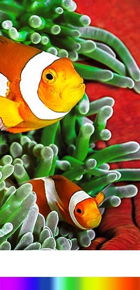 a Quantum dot colour display shows wider colour spectrum bar and good and clear of fish images